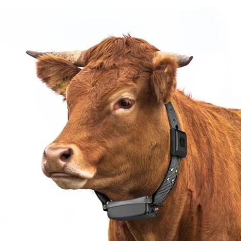 Cow Iot
